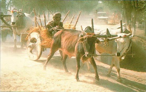 Эта современная повозка, запряженная быками, весьма похожа на индское изображение. Некоторые сельскохозяйственные методы, применявшиеся древними индскими земледельцами, до сих пор в ходу в долине Инда.