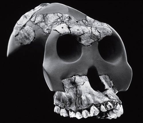 Рис. 14.1. Australopithecus garhi