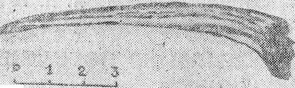 Рис. 1. Первый луч грудного плавника сибирского осетра