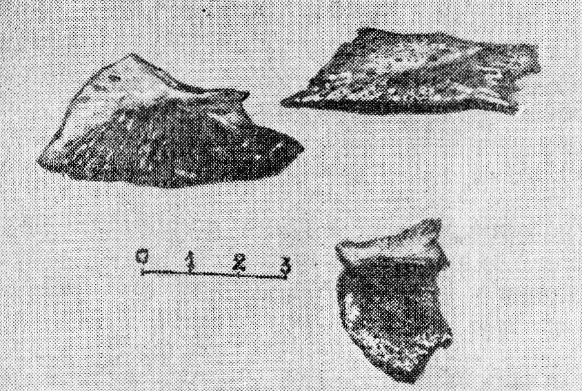 Рис, 2. Покровные кости и спинная жучка сибирского осетра