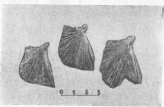 Рис. 6. Кости жаберной крышки карасей