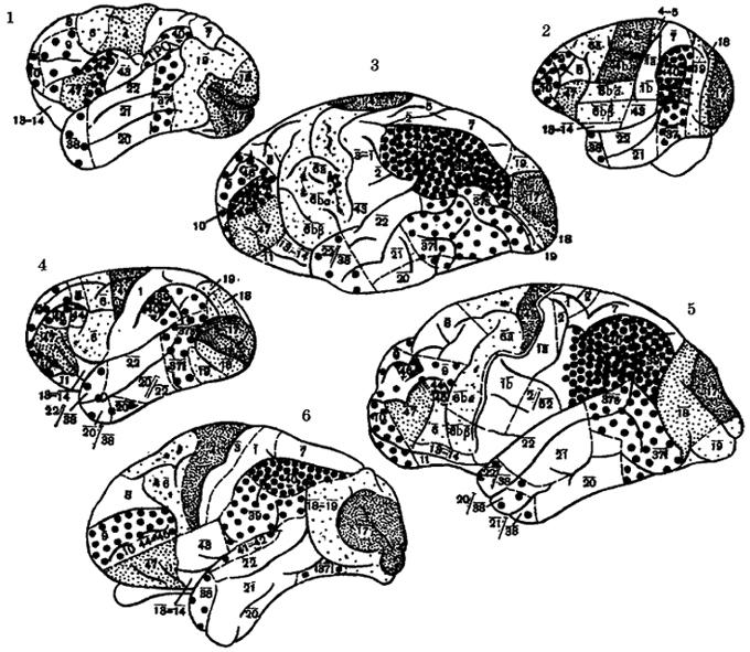 Рис. IV. 2. Цитоархитектоническая карта мозга обезьян Нового Света и высших человекообразных обезьян. 1 - коата, 2 - капуцин, 3 - орангутан, 4 - гиббон, 5 - шимпанзе, 6 - горилла  Условные обозначения к рис. IV.1, IV2, IV.3, IV.4, IV5, IV.6 Цифры обозначают цнтоархитектонические поля коры по карте Бродмана; 17,18 - поля, связанные с осуществлением зрительных рецепций; 19 - ассоциативное зрительное поле; 4, 6 - двигательные поля; 1-3 - тактильная чувствительность; 41, 42 - слуховые поля; 22 - ассоциативно-слуховое; 43 - вкусовое; 39, 40 - нижнетеменные поля, связанные со стереоскопией и стереогнозией, праксис и манипулирование; 37 - зрительно-гностические функции; 44, 45 - речедвигателъные поля; 8 - глазодвигательное поле; 9, 10, 47 - поля лобной области, связанные с прогнозированием и высшими формами психической деятельности; 23, 24 - лимбические поля, связанные с эмоциями, пищевым, питьевым и половым поведением. Крупно-зернистая штриховка означает наиболее прогрессивно развивающиеся поля неокортекса