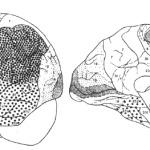 Рис. IV. 4. Цитоархитектоническая карта мозга современного человека (по Бродману) а - дорсолатеральная поверхность; Б - медиальная поверхность
