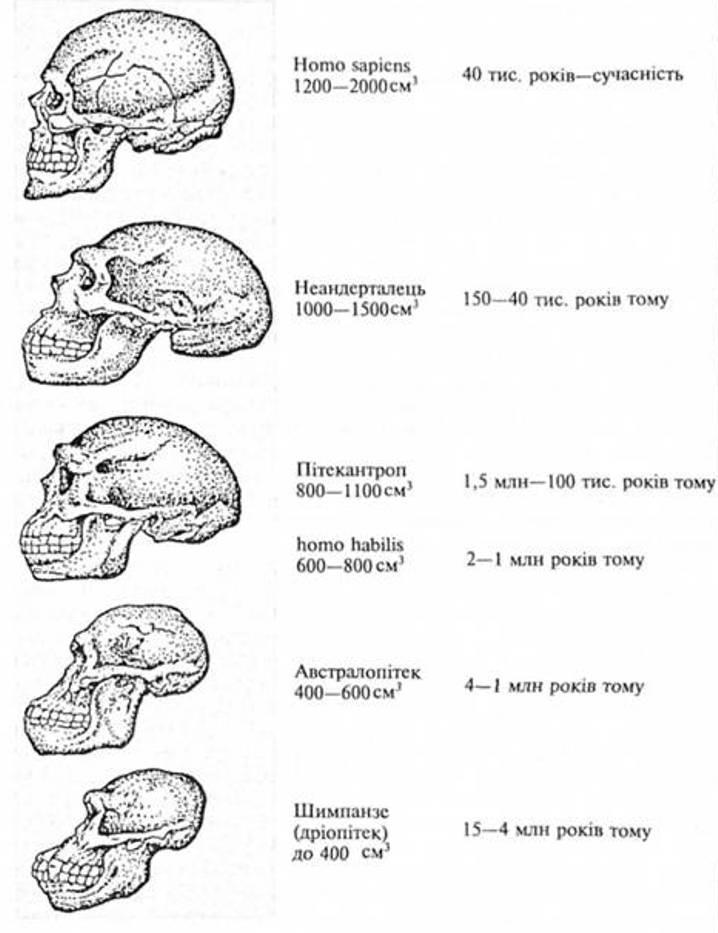 Рис. 1. Еволюція черепа людини