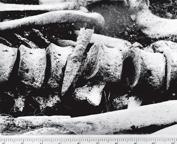 Рис. 6.5. Железный наконечник стрелы, застрявший в позвоночнике человека, убитого при атаке римлян на Мэйден Кастл в Дорсете, Англия, в 43 году н. э. Этот артефакт относится к римскому культурному контексту, скелет же принадлежит британцу. Тем не менее они связаны друг с другом в археологическом материале