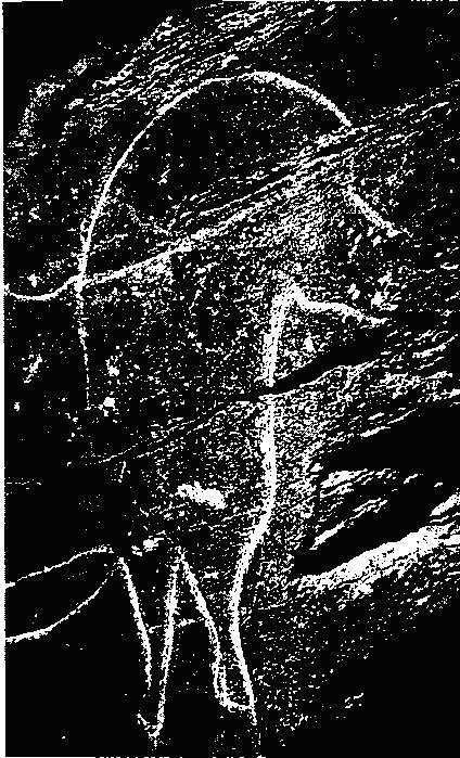 Рис. 8. Изображение лошади из Мазуко, Португалия. Палеолитическая гравировка недавно была подновлена