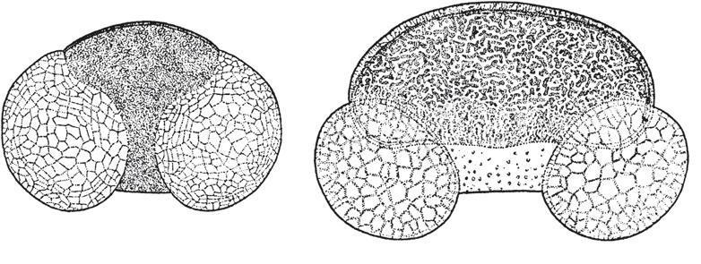 Рис. 12.9. Зерна пыльцы: ели (слева) и пихты (справа). Увеличены в 340 раз