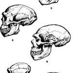 Эволюция приматов: 1 — древний лемур; 2 —- проконсул африканский; 3 — австралопитек; 4 —- синантроп; 5 — неандертальский человек; 6 — современный шимпанзе; 7 — современный человек