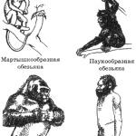 Рис. I. 1 Приматы