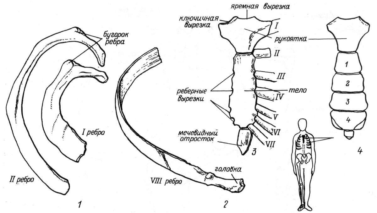 Рис. 17. Ребра и грудина. 1 — I и II ребро, вид сверху; 2 — VIII ребро, вид снизу; 3 — сочленение грудины с ребрами; 4 — грудина ребенка
