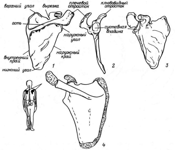 Рис. 18. Лопатка. 1—3 — правая лопатка (1 — вид сзади; 2 — вид с латеральной стороны; 3 — вид спереди); 4 — левая лопатка ребенка, вид сзади.