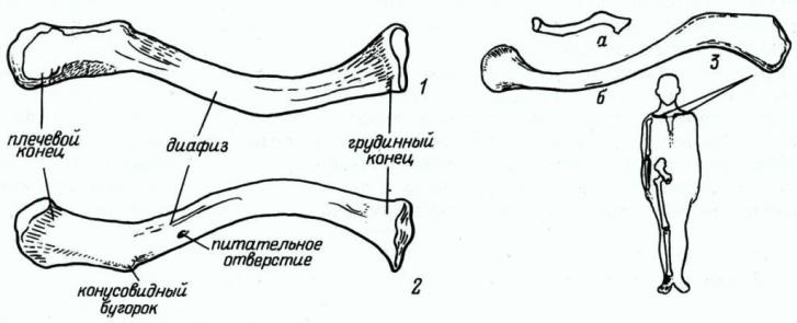 Рис. 19. Ключица. 1 — вид сверху; 2 — вид снизу; 3 — ключица ребенка (а — новорожденного, б — 15-летнего).