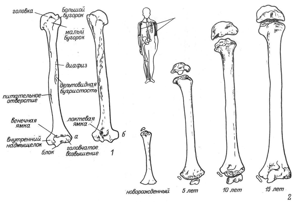 Рис. 20. Плечевая кость. 1 — левая плечевая кость (а — вид спереди; б — вид сзади); 2 — возрастные особенности строения.