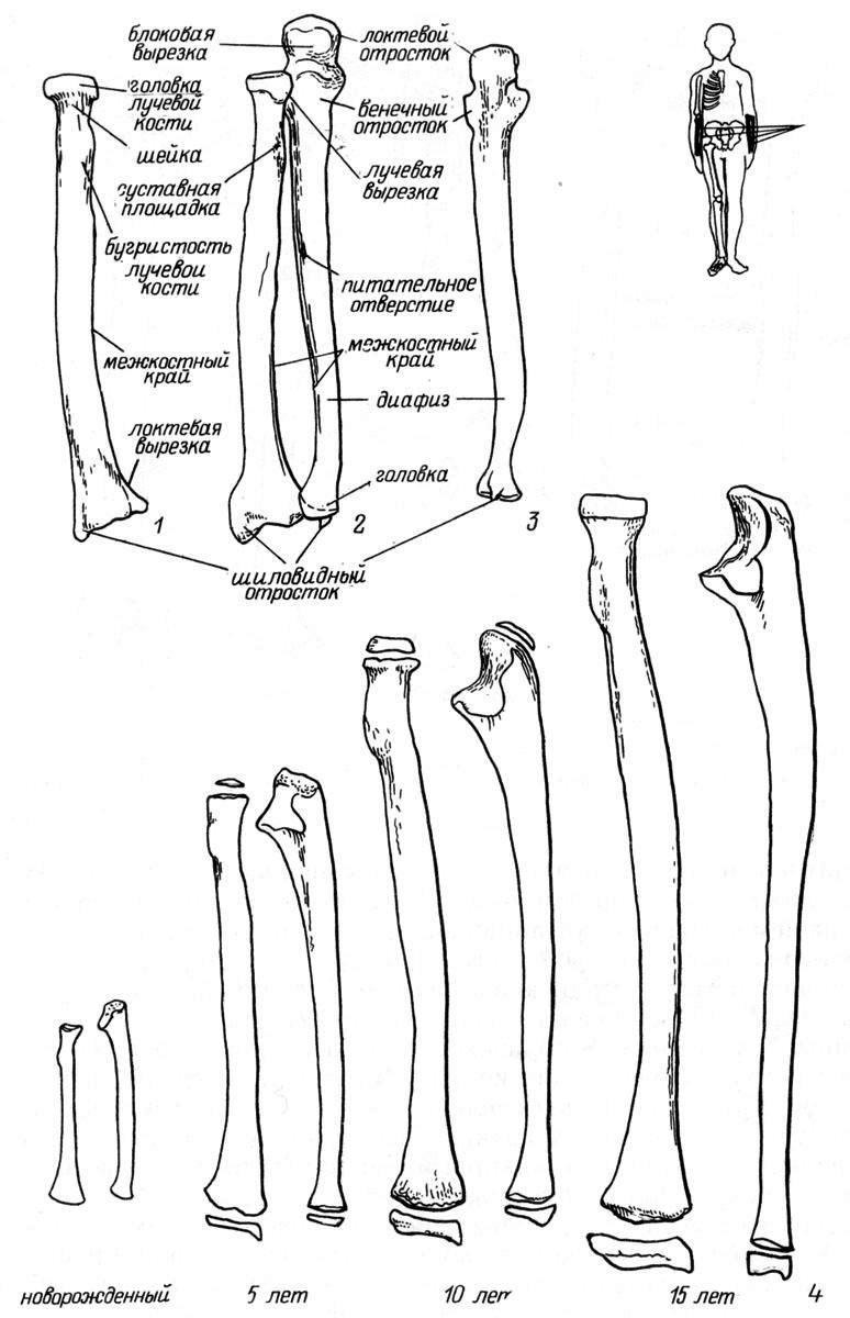 Рис. 21. Локтевая и лучевая кости. 1 — левая лучевая кость, вид сзади; 2 — правые локтевая и лучевая кости, вид спереди; 3 — левая локтевая кость, вид сзади; 4 — возрастные особенности строения.
