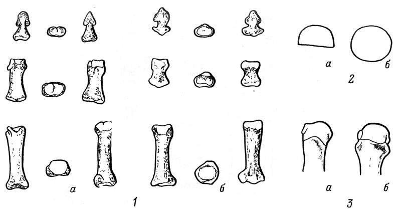 Рис. 23. Отличительные особенности фаланг кисти и стопы. 1 - фаланга третьего пальца (а - кисти, б — стопы); 2 — сечение основной фаланги пальца (а — кисти, б — стопы); 3 — форма головки пястной (а) и плюсневой (б) кости.