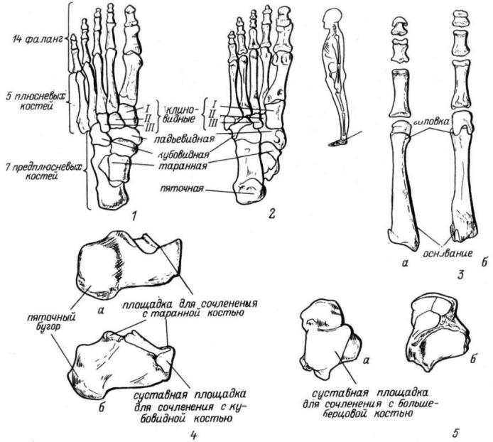 Рис. 28. Кости стопы. 1 — вид сверху; 2 — вид снизу; 3 — кости плюсны и фаланги II и III пальцев стопы (а — вид сверху, б — вид снизу); 4 — пяточная кость (а — с латеральной стороны, б — с медиальной); 5 — таранная кость (а — вид сверху, б — вид снизу).