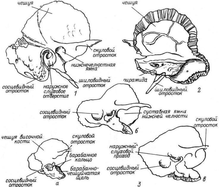 Рис. 5. Височная кость. 1 — вид снаружи; 2 — вид изнутри и сзади; 3 — возрастные особенности строения височной кости ребенка (а — двухмесячного; б — ребенка в возрасте 1 года 6 мес.; В — четырехлетнего).
