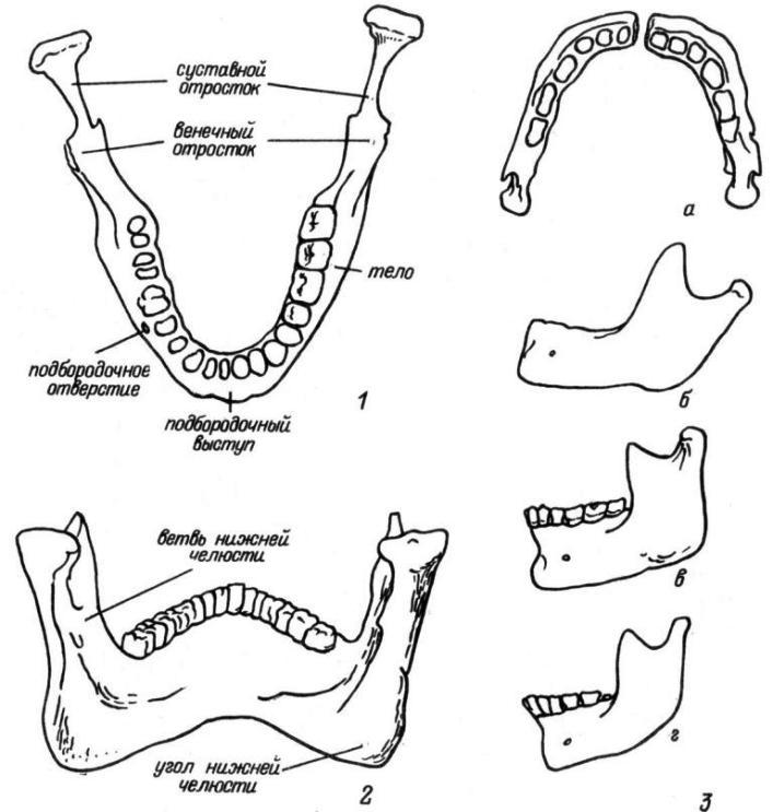 Рис. 7. Нижняя челюсть. 1 — вид сверху; 2 — вид изнутри; 3 — возрастные и половые особенности строения нижней челюсти (а — новорожденного; б — ребенка 7 лет; в — зрелого мужчины; г — зрелой женщины).