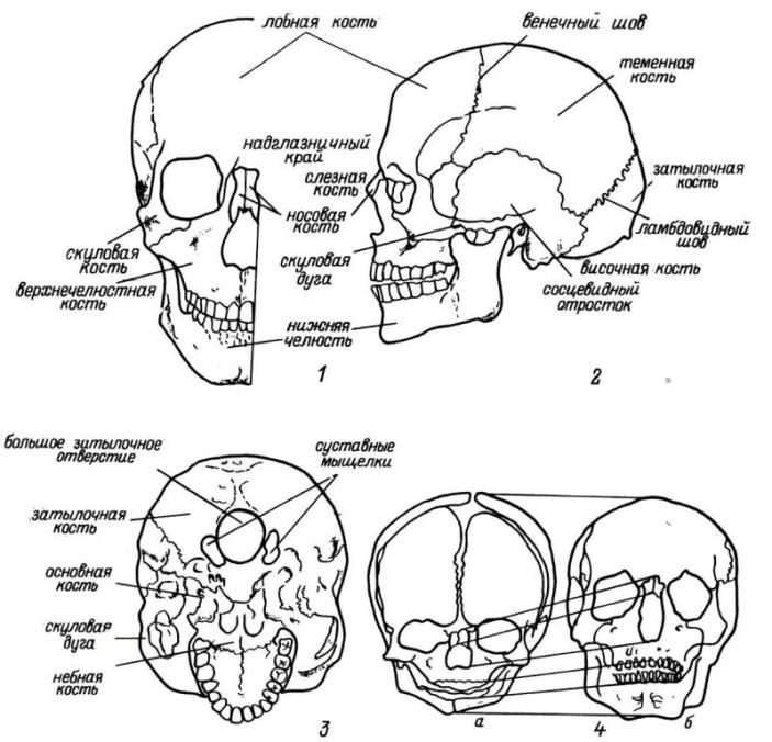 Рис. 1. Череп. 1 — вид спереди; 2 — вид слева; 3 — вид снизу; 4 — возрастные изменения пропорций черепа (а — череп новорожденного, б — череп взрослого).