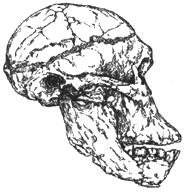 Рис. I. 5. Череп австралопитека африканского (2,5 млн лет)