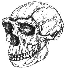 Рис. I. 8. Череп китайского питекантропа (0,4 млн лет)