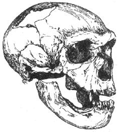 Рис. I. 10. Череп позднего европейского неандертальца (равняй вюрм)
