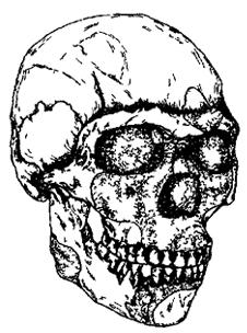 Рис. I. 11. Череп прогрессивного неандертальца (архаичного сапиенса) (90 тыс. лет)