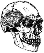 Рис. I. 13. Череп кроманьонца (Европа) (30 тыс. лет)