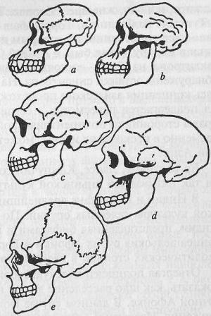 Сравнение черепов гоминидов: а) горилла, b) австралопитек, с) Homo erectus, d) неандерталец, e) Homo sapiens