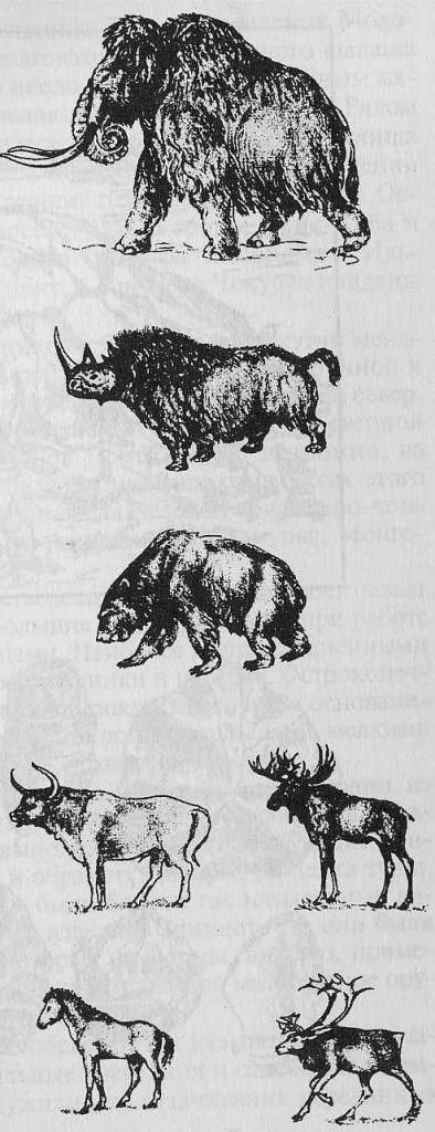 Фауна позднего плейстоцена (поздний мустье и верхний палеолит): мамонт, шерстистый носорог, пещерный медведь, первобытный бык, дикая лошадь, лось, северный олень