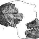 Рис. 21. Питекантроп IV. Фрагменты черепа. а — фрагмент верхней челюсти; Ь — фрагмент мозговой части черепа.