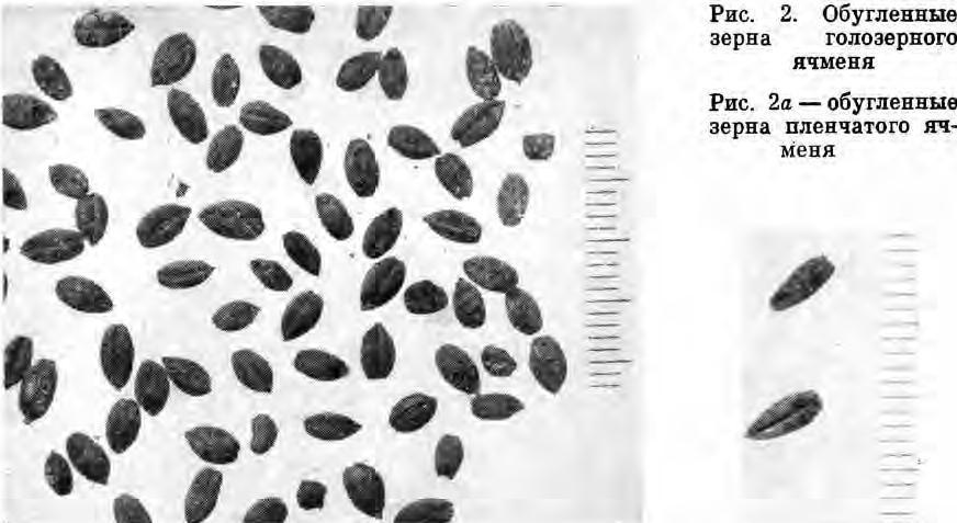 Рис. 2. Обугленные зерна голозерного ячменя Рис. 2а — обугленные зерна пленчатого ячменя