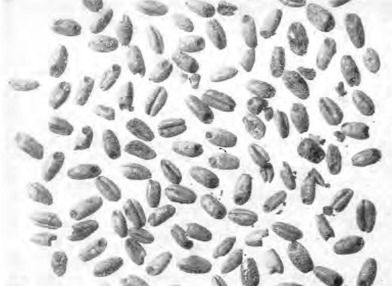 Рис. 1. Обугленные зерна мягкой пшеницы