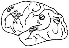 Рис. IV. 6. Топография ориментов соответствующих полей у шимпанзе.