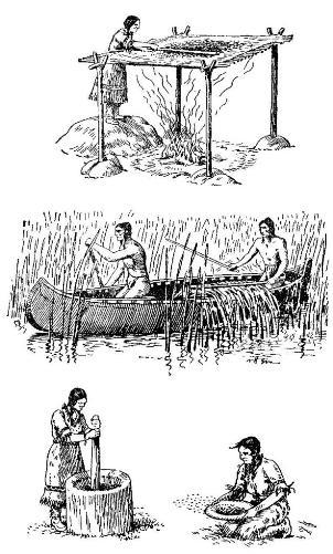 Сбор и обработка дикого риса у приозерных индейцев Северной Америки