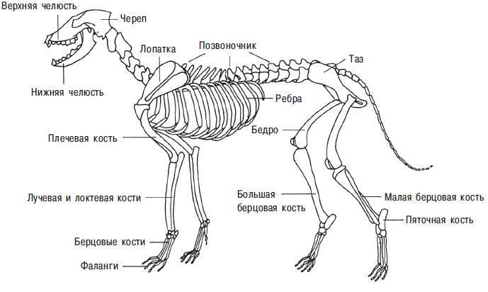 Рис. 13.3. Скелет собаки. Показаны наиболее важные части тела с остеологической точки зрения