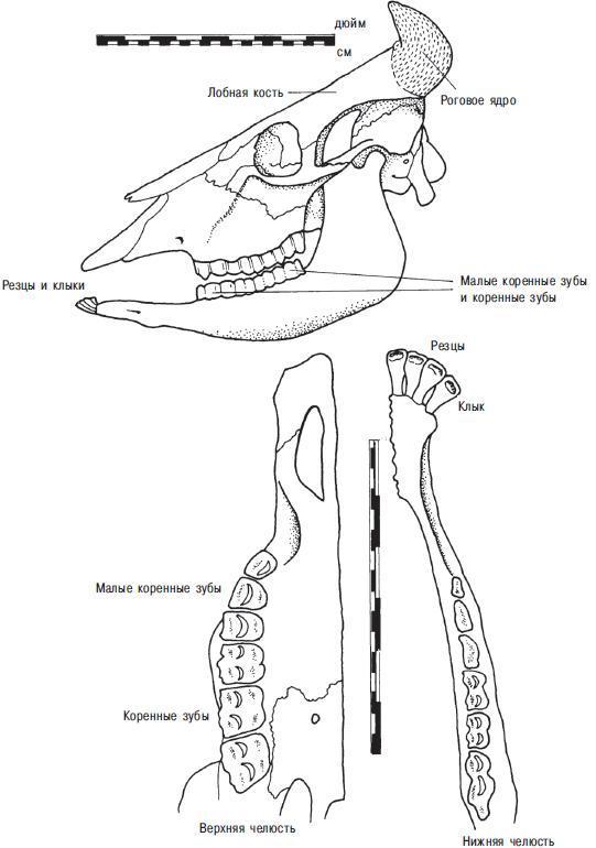 Рис. 13.4. Череп и челюсть домашнего буйвола и наиболее важные остеологические признаки. Одна четвертая реального размера